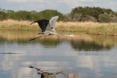 Great Blue Heron Flying. In Myakka State Park, Sarasota, FL Royalty Free Stock Photo