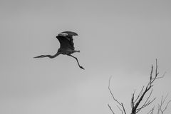 Great Blue Heron. A great blue heron flying Royalty Free Stock Image