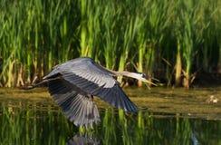 Great Blue Heron Flying. A great blue heron flying over a lake Stock Photo