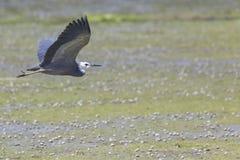 Great blue heron flying. Great blue heron on flying Stock Image