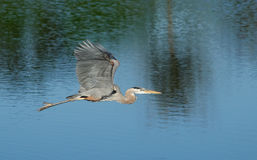Great blue heron flying above the water Stock Image