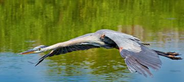 Great blue heron flying above water Stock Photography