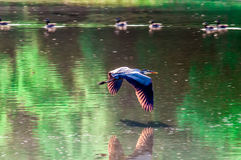 Great Blue Heron flying. Abstract motion Stock Photo