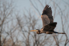 Great Blue Heron. Flying away royalty free stock photo