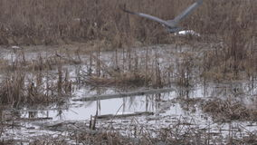 Great Blue Heron Flying Away 4K. UHD stock footage
