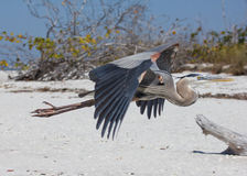 Great Blue Heron flying on a beach Stock Photo
