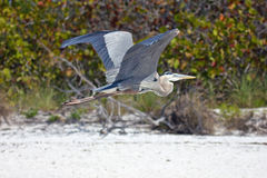 Great Blue Heron flying on a beach stock images