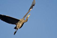 Great Blue Heron Flying in a Blue Sky Royalty Free Stock Photos