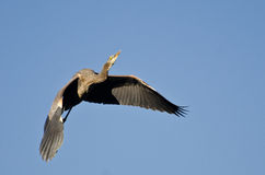 Great Blue Heron Flying in a Blue Sky. Great Blue Heron Flying in a Clear Blue Sky Royalty Free Stock Photos