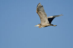 Great Blue Heron Flying in a Blue Sky Stock Photos