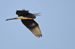 Great Blue Heron Flying in a Blue Sky Royalty Free Stock Photography