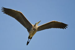 Great Blue Heron Flying in a Blue Sky. Great Blue Heron Flying in a Clear Blue Sky Royalty Free Stock Photography