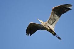 Great Blue Heron Flying in a Blue Sky Stock Images