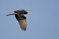 Great Blue Heron Flying in a Blue Sky Stock Photography