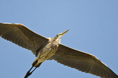 Great Blue Heron Flying in a Blue Sky Stock Photo
