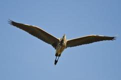 Great Blue Heron Flying in a Blue Sky. Great Blue Heron Flying in a Clear Blue Sky Stock Photo