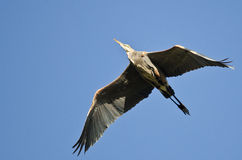 Great Blue Heron Flying in a Blue Sky Stock Image