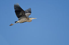 Great Blue Heron Flying in a Blue Sky. Great Blue Heron Flying in a Clear  Blue Sky Stock Images