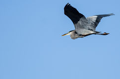 Great Blue Heron Flying in a Blue Sky. Great Blue Heron Flying in a Clear Blue Sky Royalty Free Stock Image