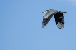 Great Blue Heron Flying in a Blue Sky. Great Blue Heron Flying in a Clear Blue Sky Royalty Free Stock Photo