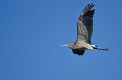 Great Blue Heron Flying in a Clear Sky. Great Blue Heron Flying in a Clear Blue Sky Royalty Free Stock Image