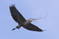 Great Blue Heron Flying Flight Stock Image
