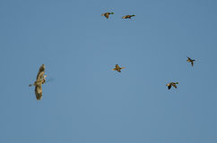 Great Blue Heron Flying with a Flock of Mallard Ducks in a Blue Sky. Great Blue Heron Flying with a Flock of Mallard Ducks in a Clear Blue Sky Stock Photography