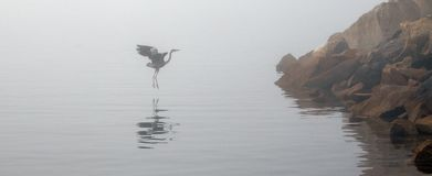 Great Blue Heron flying on foggy morning in Morro Bay Central California coastline USA stock photography