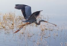 Flying Great Blue Heron Over Water Royalty Free Stock Image