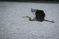 Great Blue Heron flying. Low over the river Royalty Free Stock Photo