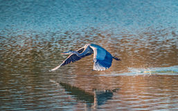 Great Blue Heron flying low over water Stock Photography