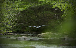 Great blue heron, flying low over water of Eighmile River. Great blue heron flying over the water of Eightmile River at Southford Falls State Park; Oxford Stock Image