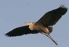 Great Blue Heron Flying. Blue Heron flying low over the waters of a Minnesota great lakes Royalty Free Stock Photo