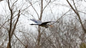 Great blue heron flying in Michigan during spring, amazing unique lake wild bird. Beautiful animal Stock Photography