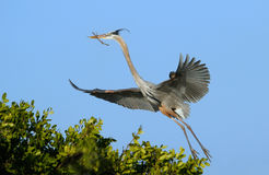 Great blue heron flying with nesting material Stock Photos