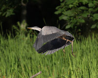 Great Blue Heron Flying Off in a Marsh Royalty Free Stock Images