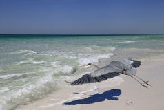 Great Blue Heron Flying Over Beach Casting It's Distinctive Shad stock photos