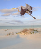 Great Blue Heron Flying Over the Beach. Great Blue Heron Flying Over the White Sand Beach in Early Morning Light Stock Photos