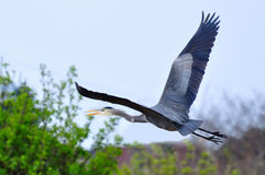 Great Blue Heron flying over a bush Royalty Free Stock Photo