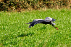 Great Blue Heron flying over a farm field Royalty Free Stock Images