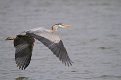 Great Blue Heron flying over the James River Stock Photo