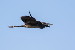 Great Blue Heron flying over lake Stock Photography
