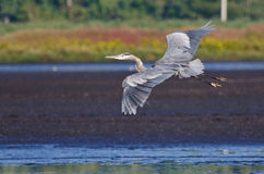 Great Blue Heron Flying Over the Marsh. Great Blue Heron Flying Over the Autumn Marsh Royalty Free Stock Image