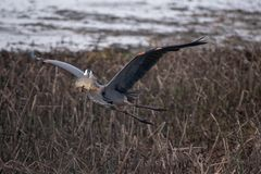 Great Blue Heron flying over marsh grass with a Golden Carp in it`s beak stock images