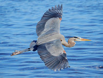 Great Blue Heron Flying Over the Ocean. Great Blue Heron Flying Over a Florida Bay Stock Photos