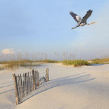 Great Blue Heron Flying Over Pristine Florida Beach Royalty Free Stock Photo