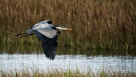 A great blue heron flying over a salt-marsh at eye level. royalty free stock images