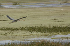Great blue heron flying over a swamp in Christmas, Florida. Royalty Free Stock Photography