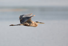 Great Blue Heron Flying. Over water Stock Photos
