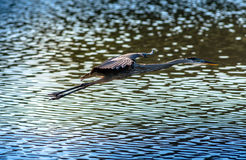 Great Blue Heron flying over water. In a Chesapeake Bay pond Stock Photography